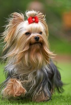 """Yorkshire Terrier. Small in size but big in personality, the Yorkshire Terrier makes a feisty but loving companion. The most popular toy dog breed in the U.S., the """"Yorkie"""" has won many fans with his devotion to his owners, his elegant looks, and his suitability to apartment living. Read more at http://dogtime.com/dog-breeds/yorkshire-terrier#YModM97UZWzdjpqk.99"""