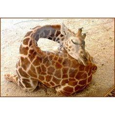 Sleeping baby giraffe -- sweetest thing ever. <3