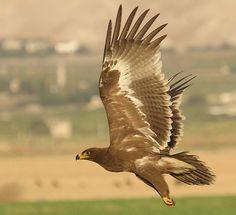 Birds of Israel - Birds of Prey - Steppe Eagle Israel, Eagle In Flight, Birds Of Prey, Raptors, Wild Birds, Bird Watching, Bird Art, Eagles, Bald Eagle