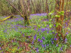 Amazing bluebells in Crab Wood near Winchester.