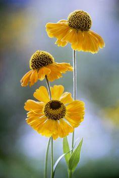 Superb Nature - superbnature: Helenium by MandyDisher. Amazing Flowers, My Flower, Yellow Flowers, Flower Art, Flower Power, Wild Flowers, Beautiful Flowers, Foto Nature, Spring Wildflowers