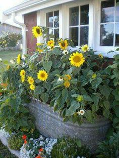 Love how these sunflowers have been planted in an old tub!