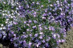 Find help & information on Lobelia erinus 'Cambridge Blue' trailing lobelia 'Cambridge Blue' from the RHS Summer Bedding Plants, Plant Identification, Perfect Plants, Hardy Plants, Green Grass, Shrubs, Cambridge, Perennials, Garden Ideas