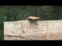 HORNET ATTACKS A MONARCH BUTTERFLY (remake) - YouTube