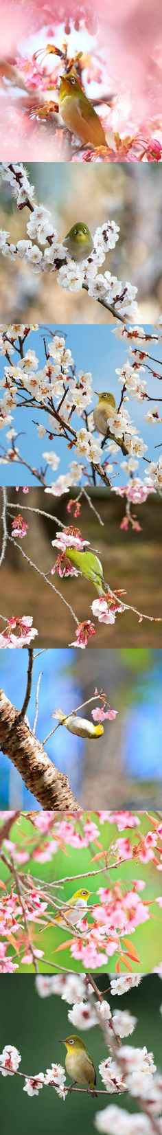 A sweet little bird with a big sweet tooth, the Japanese white-eye seems to be as prominent during springtime in Asia as the blossoming cherry and plum trees.