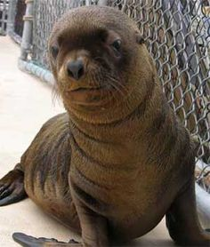 The population of the Steller Sea Lion has dropped 80% in the last 30 years. Help save this adorable endangered species!