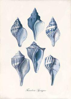 Blue Shell Art Print - Fasciolaria Sycotypus Blue - Ocean Decor - Beach Decor on Etsy, $8.00
