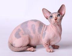 ♥CG♥ 23 Bambino Cat Origin: United States Crossbreed: Sphynx  Munchkin