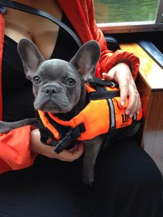 Blue french bulldog in life jacket Blue French Bulldog Puppies, French Bulldog Facts, French Bulldogs, King Charles Spaniel, Cavalier King Charles, Puppy Mix, Service Dogs, Dog Pictures, Dogs And Puppies