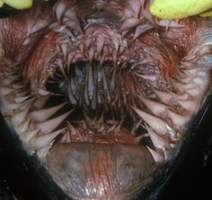 This is the inside of a leatherback turtle's mouth and esophagus. Just what the hell is going on here? That shit looks like Predator's mouth on steroids and GMOs. Man, if my mouth looked like that. Weird Pictures, Nature Pictures, Animal Pictures, Leatherback Sea Turtle Mouth, Tiger Skin, Reptiles And Amphibians, Funny Animals, Make It Yourself, Makeup Quotes