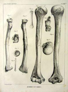 1852. Anatomie descriptive. Squelettologie. Pl. XLVIII. Humérus et radius.