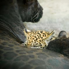 Spotted Jaguar Cub and Black Jaguar Cub from the same litter with their Black Jaguar Mother