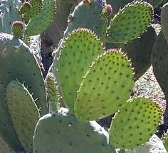 Ancient Meso-American people have been using Nopal for centuries. For over 12,000 years, indigenous tribes in Mexico and South America have consumed them. The Nopal and fruit is an important food source that provided them with nutritional and healing benefits. Nopal cactus & prickly pear fruit is used for inflammation, colon-cleansing, hyperglycemia, cholesterol, obesity, atherosclerosis, gastro-intestinal disorders & liver function.