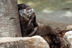Otter sits under a tree and plots - April 11, 2016