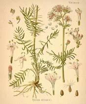 Valerian - Valeriana officinalis