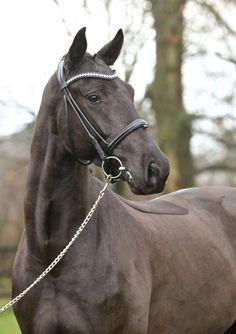 Dublin Heart, Rhinelander Gelding - German Horse Center