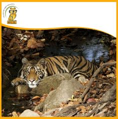 Bandhavgarh belongs to the Vindhya mountain ranges of central India and it boasts to have the highest density of tiger population in the country. Mountain Range, Ranges, Tigers, India, Country, Animals, Animais, Delhi India, Animales