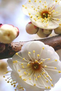 Plum blossoms at Kitano Tenmangu shrine, Kyoto, Japan