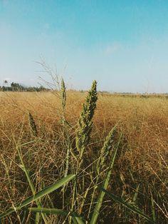 Beautyfull rice fileds
