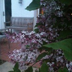 Summer awaits as the lilac bush blooms..