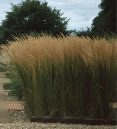 Photo: Molinia arundinacea 'Karl Foerster'
