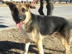 SUPER SUPER URGENT!! Furbabies of Lancaster Texas CODE RED DUE TO TIME AND SPACE.  Ralph. Young German Shep. mix. Friendly boy.   This dog is found at Lancaster Animal Shelter, 972-218-1200 or 972-218-1210, Adoption fees: $15 for small $25 for large dogs. You must bring a pre-paid rabies shot receipt from your vet.   If you are a rescue please send your 503 (c) form to Kcorrao@lancaster-tx.com. Fees are waived.