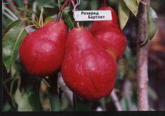 Плодовый крупномер|плодовые деревья|саженцы купить в Киеве|Садовый центр Плодовый крупномер #деревья #фруктовые_деревья #плодовые_деревья #киев #купить #саженцы #сад #garden #tree #fruit_tree