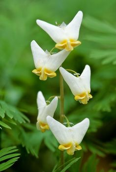 Dicentra cucullaria (Dutchman's breeches) is a perennial herbaceous plant, native to rich woods of eastern North America