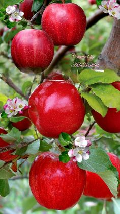 Fruit Plants, Fruit Garden, Fruit Trees, Apple Tree, Red Apple, Beautiful Fruits, Beautiful Flowers, Photo Fruit, Fruit Bearing Trees