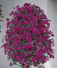Pase Seeds - Petunia Wave Purple Annual Seeds, $6.99 (http://www.paseseeds.com/petunia-wave-purple-annual-seeds/)