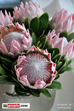 King Pink Protea - stunning flowers for gardens. Inspiration and ideas for wedding and floral arrangements. Protea Art, Protea Flower, Australian Flowers, Australian Plants, South African Flowers, Valley Of Flowers, Flower Boutique, Language Of Flowers, Calla Lily