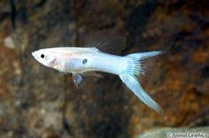 picture of Royal Blue Lyretail Guppy Male Med Poecilia reticulata