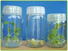 The Plant Tissue Culture