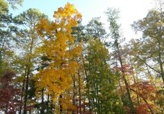 About Hickory Trees: Tips For Growing A Hickory Tree - Hickories (Carya spp., USDA zones 4 through 8) are strong, handsome, North American native trees. While hickories are an asset to large landscapes and open areas, their large size makes them out of scale for urban gardens. Keep reading to learn more about growing a hickory tree.