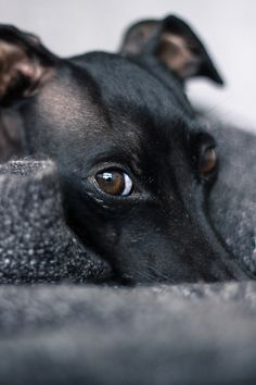 ~ Italian Greyhound ~