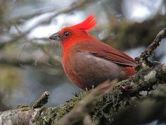 El 'habia cristata' o 'copetona' es ahora el ave insignia del río Pance http://facebook.com/carcvc