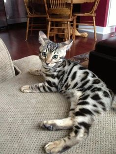 Beautiful Bengal kitten - Bengal Kittens - Ideas of Bengal Kittens - Beautiful Bengal kitten The post Beautiful Bengal kitten appeared first on Cat Gig. I Love Cats, Crazy Cats, Cute Cats, Funny Cats, Beautiful Cats, Animals Beautiful, Cute Animals, Kittens Cutest, Cats And Kittens
