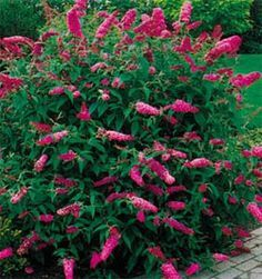 butterfly bush ontario - Google Search