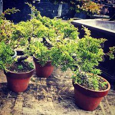pre shimpaku Juniper Bonsai, Plants, Plant, Planets