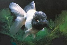 veil tail oranda - Google Search