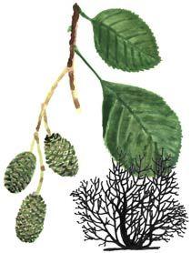 Green Alder tree or hedging plants