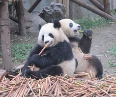 Gorgeous pandas from China