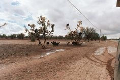 tree climbing goats -    goats in an argan tree doing their part of the argan oil production cyclus...