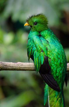Gorgeous Quetzal ... beautiful green and black bird