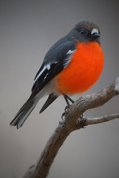 Flame Robin, male (Petroica phoenicea) -  photo by David Jenkins (birdsaspoetry), via Flickr;  native to the coolest parts of south-eastern Australia and Tasmania;  The largest of the red robins at 5–6 inches long. It has a more slender build with relatively long wings and neck and small head. The male has bright orange-red plumage on the throat, breast and abdomen. There is a small white frontal spot above the bill, and the wing bar and outer tail shafts are white.
