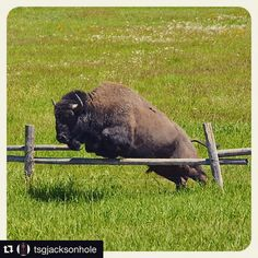 knew Bison could jump? Spotted this guy clearing a buck rail fence in order to cross the road. Buffalo S, Water Buffalo, American Bison, Native American Art, American History, Wildlife Photography, Animal Photography, Large Animals, Cute Animals