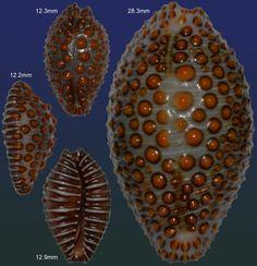 David Swindler Jenneria pustulata - *size next to specimen Gobernadora Island  *photo taken by Simon Aiken (Simon's Specimen Shells Ltd. - UK)