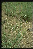 plante adulte Épilobe à quatre angles