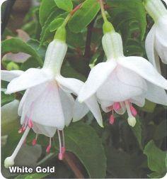 white fuchsias - Google Search