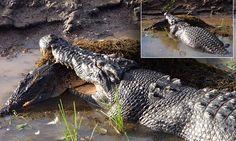 Massive 5m saltwater crocodile attacks and eats 'smaller' 2m croc
